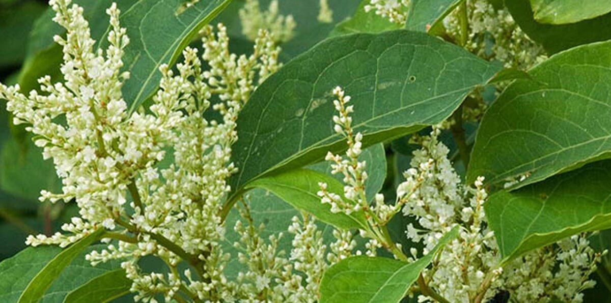 Identifying a deep-rooted problem – Japanese Knotweed